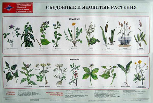 Ядовитые растения и название и описание для детей 99